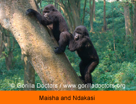 Maisha and Ndakasi Copyright Gorilla Doctors