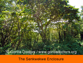 The Senkwekwe Enclosure Copyright Gorilla Doctors