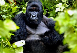 The huge silverback