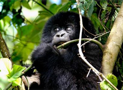 Gorillas move between the different vegetation zones on the slopes of Mikeno volcano in Virunga